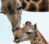baby-giraffe-1