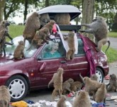 23-baboons-vs-tourists