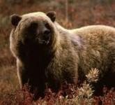 gobi_bear(1)